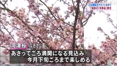 由美浜の河津桜