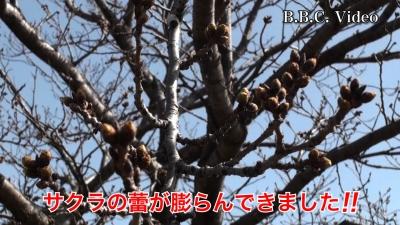 黄砂で霞む琵琶湖!! サクラの蕾膨らむ #今日の琵琶湖(YouTubeムービー)