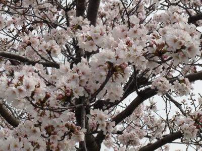 びわ湖大橋米プラザのサクラ 満開の木が多くなりました(3月30日10時30分頃)