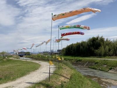 真野川のコイノボリが強風で元気に泳いでます(4月25日11時30分頃)