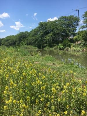 堅田周辺はよく晴れていい天気 河原はお花畑状態になってきました(5月28日12時頃)