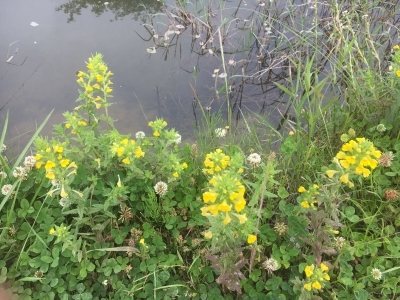 琵琶湖畔の河原はお花畑状態が続いてます