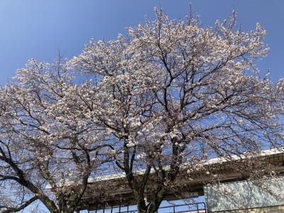 JR堅田駅のサクラ(3月26日9時45分頃)