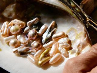 琵琶湖産の淡水真珠は色も形も様々
