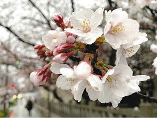 彦根よりも一足早く開花した大津市京町のサクラ