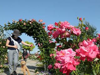 バラが見頃を迎えた大津市柳が崎のびわ湖大津館イングリッシュガーデン