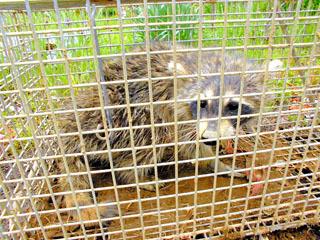 檻罠で捕獲されたアライグマ