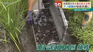 ジャンボタニシ1日で約100匹捕獲
