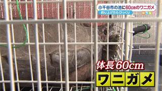 新潟県小千谷市の池で捕獲されたワニガメ