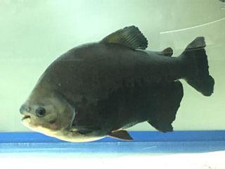 京都府八幡市の木津川で釣り上げられたレッドコロソマ