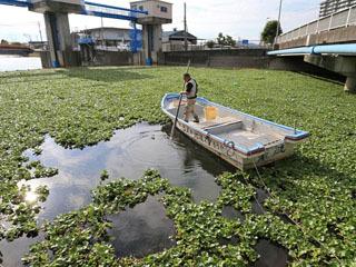 船場川の水面を覆い尽くしたホテイアオイ
