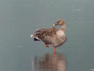 湖北野鳥センター近くの今西湖岸に飛来したオオヒシクイ
