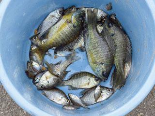 戸田漕艇場で捕獲されたブルーギルの一部