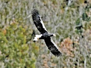 今年も飛来が確認された山本山のお婆ちゃんオオワシ