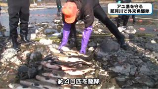 那珂川で駆除された外来魚らしい魚