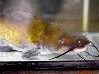 滋賀県水産試験場で飼育中のチャネルキャットフィッシュ