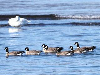 湖北町今西湖岸に飛来したシジュウカラガンの群れ