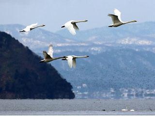 琵琶湖を飛び立つコハクチョウ