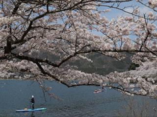 桜満開の海津大崎