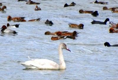 草津市の琵琶湖岸に飛来したコハクチョウの幼鳥