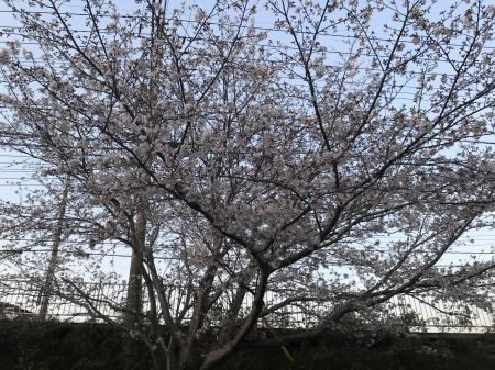 20200326桜05