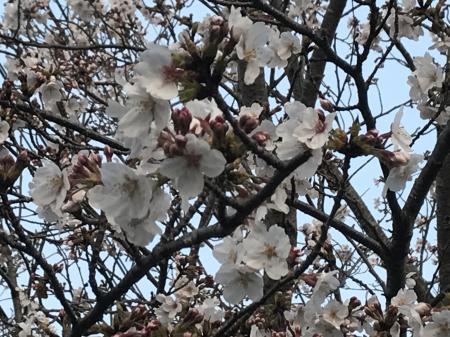 20200326桜07