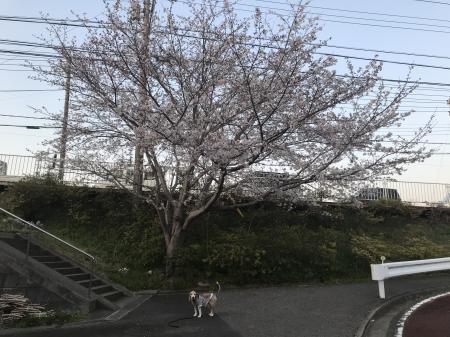 20200326桜04