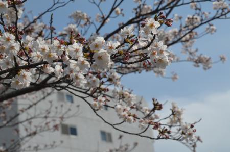 20200327桜05