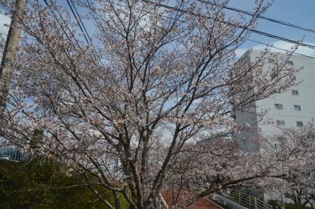 20200327桜04