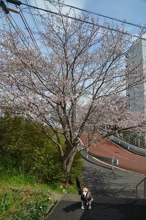 20200327桜03