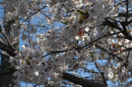 20200402佐倉の桜と桜城址公園06