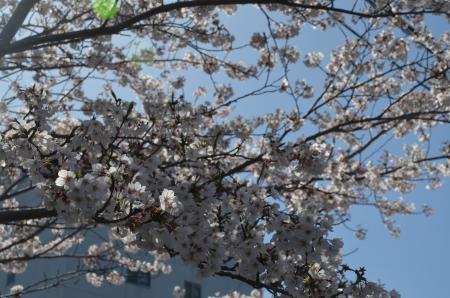 20200402佐倉の桜と桜城址公園05