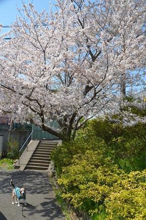 20200402佐倉の桜と桜城址公園04