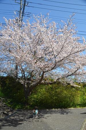20200402佐倉の桜と桜城址公園02