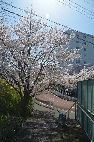 20200402佐倉の桜と桜城址公園03