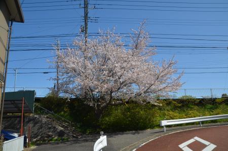 20200402佐倉の桜と桜城址公園01