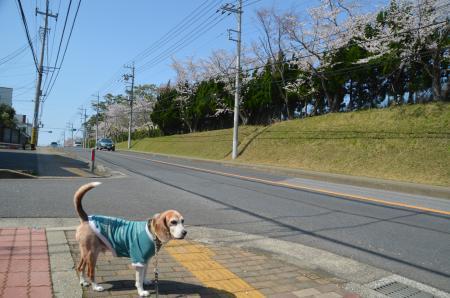 20200402佐倉の桜と桜城址公園10