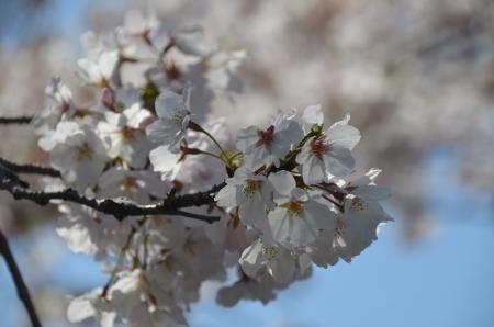 20200402佐倉の桜と桜城址公園08