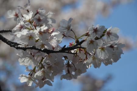 20200402佐倉の桜と桜城址公園09