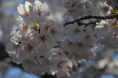 20200402佐倉の桜と桜城址公園07