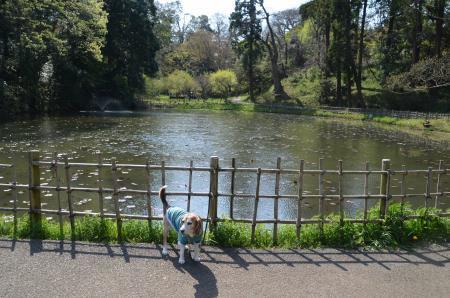 20200402佐倉の桜と桜城址公園17