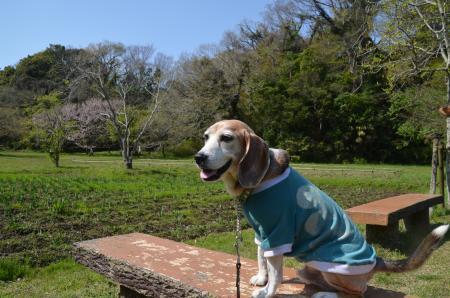 20200402佐倉の桜と桜城址公園16
