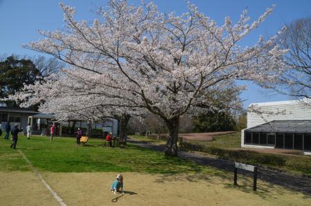 20200402佐倉の桜と桜城址公園24