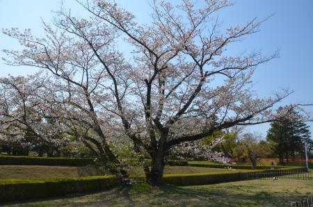 20200402佐倉の桜と桜城址公園23