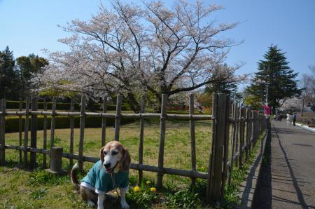 20200402佐倉の桜と桜城址公園22