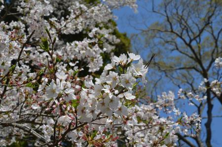 20200402佐倉の桜と桜城址公園19