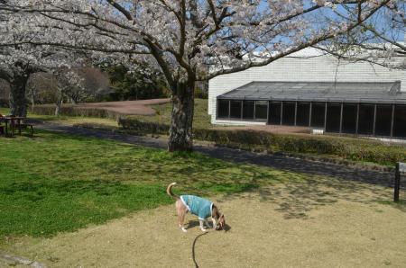 20200402佐倉の桜と桜城址公園28