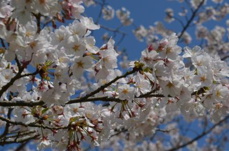 20200402佐倉の桜と桜城址公園27