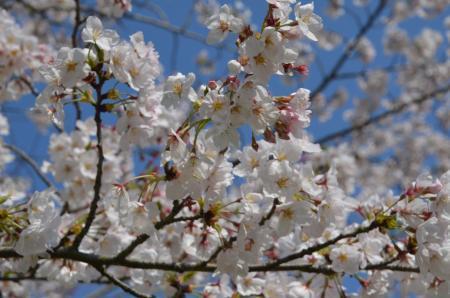 20200402佐倉の桜と桜城址公園26