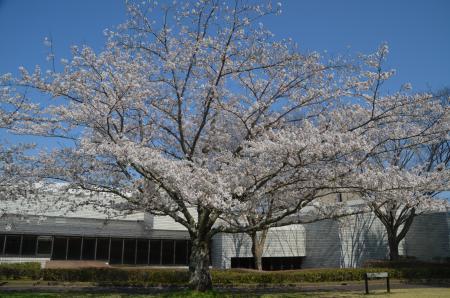20200402佐倉の桜と桜城址公園25